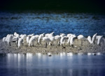 Local gang of Snowy Egrets on a windy day