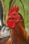 LIL' RED ROOSTER
