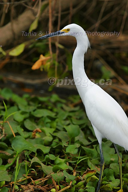 TIME OUT Snowy Egret Egretta thula December 22, 2004