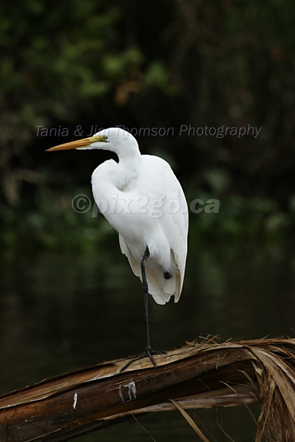THE GREAT ONE Great Egret Ardea alba December 22, 2004
