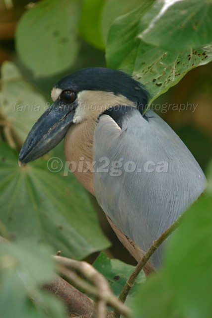 WILD BILL