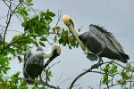 ALL TOGETHER NOW Brown Pelicans Pelecanus occidentalis December 22, 2004