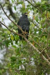 BACK IN BLACK Great Black Hawk Buteogallus urubitinga December 22, 2004
