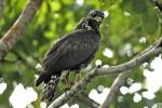 MOVE ALONG! Great Black Hawk Buteogallus urubitinga December 30, 2004