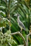 CROWN JEWELS Yellow-Crowned Night Heron Nyctanassa violacea December 31, 2004
