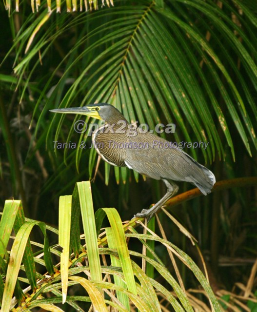 CROUCHING TIGER Bare-Throated Tiger Heron Tigrisoma mexicanum December 31, 2004