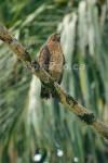 VIGILANT Roadside Hawk Buteo magnirostris December 31, 2004