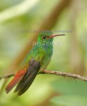 HUMDINGER Rufous-Tailed Hummingbird Amazilia tzacatl January 1, 2005