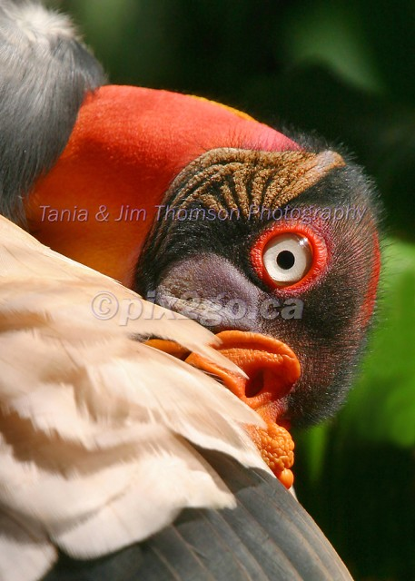 AWFULLY BEAUTIFUL King Vulture Sarcorhamphus papa December 22, 2004