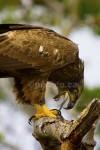 FIN-ISHED Bald Eagle Haliaeetus leucocephalus Dec. 7, 2005