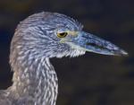 THINKER Yellow-Crowned  Night Heron Nyctanassa violacea Dec. 3, 2005