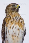 PORTRAIT Red-Shouldered Hawk Buteo lineatus Nov., 26, 2005
