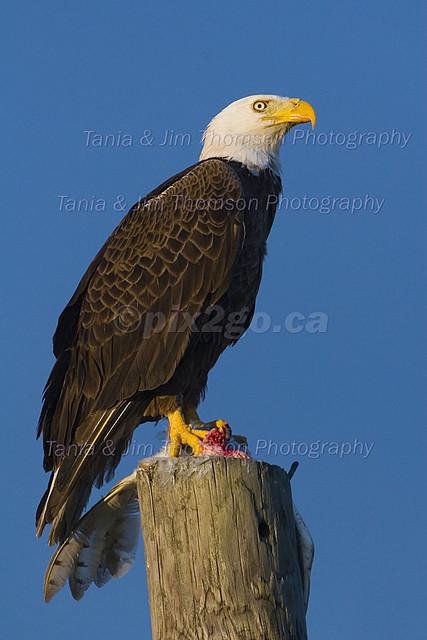 BREAKFAST IN AMERICA Bald Eagle Haliaeetus leucocephalus Mar. 5, 2007