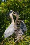 NOT NOW, JUNIOR! Great Blue Heron Ardea herodias Feb. 28, 2007