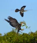 A FLY-IN VISIT Anhinga Anhinga anhinga Mar. 6, 2007