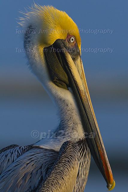 CATCHING THE  LAST RAYS Brown Pelican Pelicanus occidentalis Feb. 27, 2007