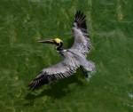 BROWN PELICAN Pelicanus occidentalis Mar. 4, 2007