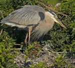 AFTER LUNCH Great Blue Heron Ardea herodias March 6, 2007