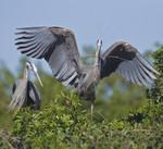HAPPY PARENTS 3 Great Blue Heron Ardea herodias March 6, 2007