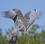 HAPPY PARENTS 4 Great Blue Heron Ardea herodias March 6, 2007