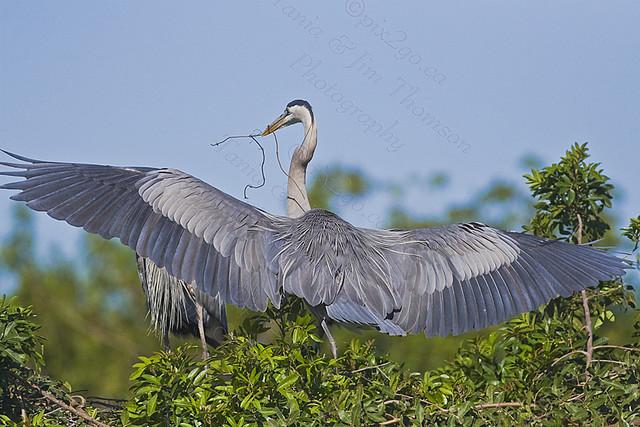 FULL SPAN Great Blue Heron Ardea herodias March 6, 2007