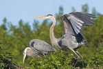 ANYTHING FOR YOU... Great Blue Heron Ardea herodias March 6, 2007