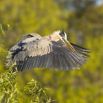 TAKING OFF Great Blue Heron Ardea herodias March 6, 2007