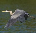 ALWAYS ON THE GO Great Blue Heron Ardea herodias March 6, 2007