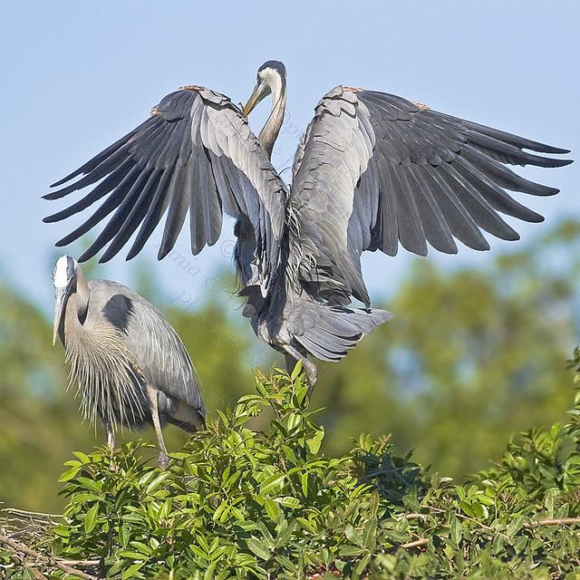 HOVERING HIS BEAUTIFUL WINGS Blue Heron Ardea herodias March 6, 2007