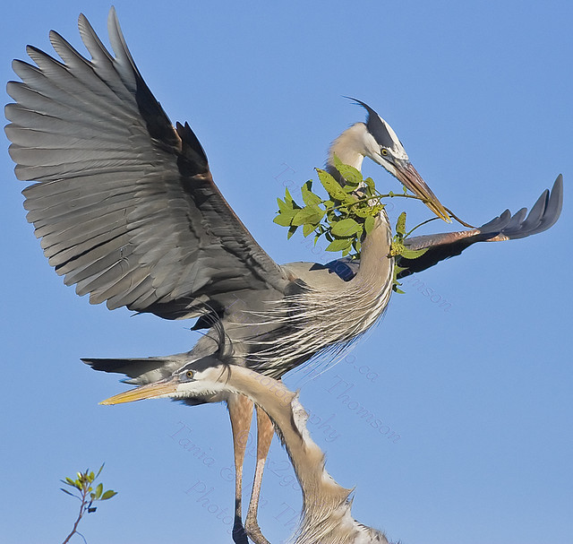 COUPLE Great Blue Heron Ardea herodias March 6, 2007