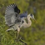 EARLY MORNING Great Blue Heron Ardea herodias March 6, 2007
