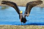 AM I FITTING THE FRAME? Brown pelican Pelicanus occidentalis Feb. 21, 2007