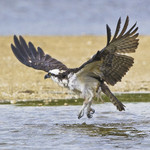 ELEGANT SHAKE Osprey Pandion haliaetus March 1, 2007