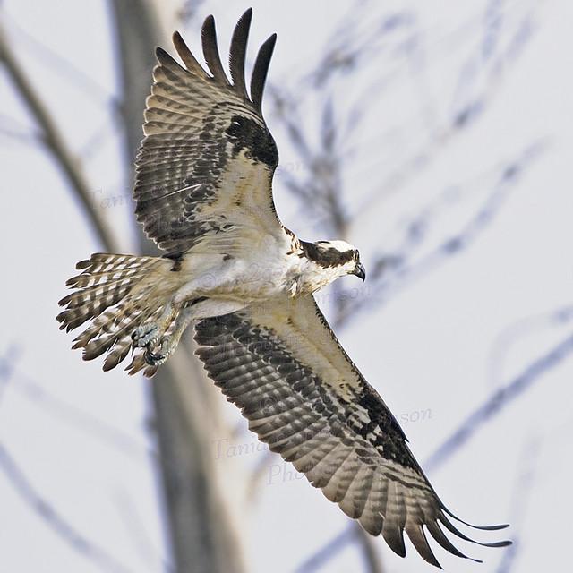 OSPREY Pandion haliaetus March 3, 2007