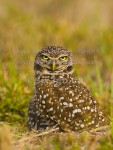 LIVING ON  BURROWED TIME Burrowing Owl Athene cunicularia Feb. 26, 2007