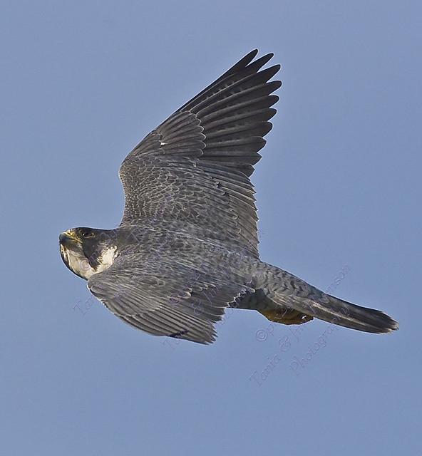 JUST PASSING Peregrine Falcon Falco peregrinus March 2, 2007
