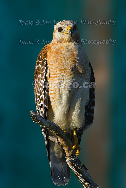 BEING A RAPTOR Red-shouldered Hawk Buteo lineatus Mar. 5, 2007