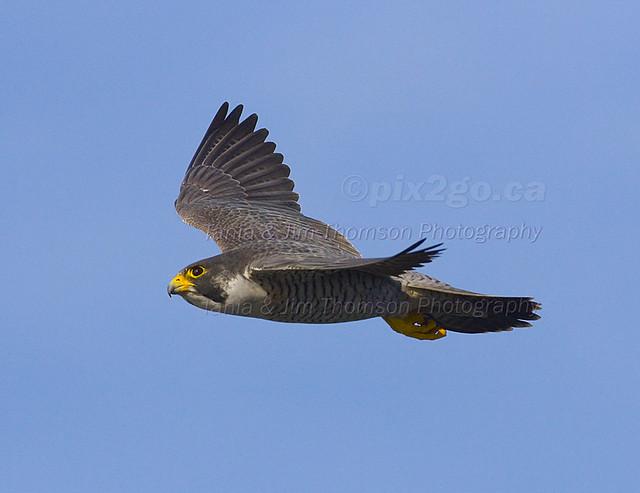ROCKETMAN Peregrine Falcon Falco peregrinus Mar. 2, 2007