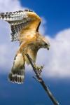 HAWK YOGA Red-shouldered Hawk Buteo lineatus Mar. 4, 2007