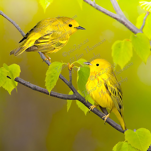 YELLOW WARBLER Dendroica petechia May, 2011