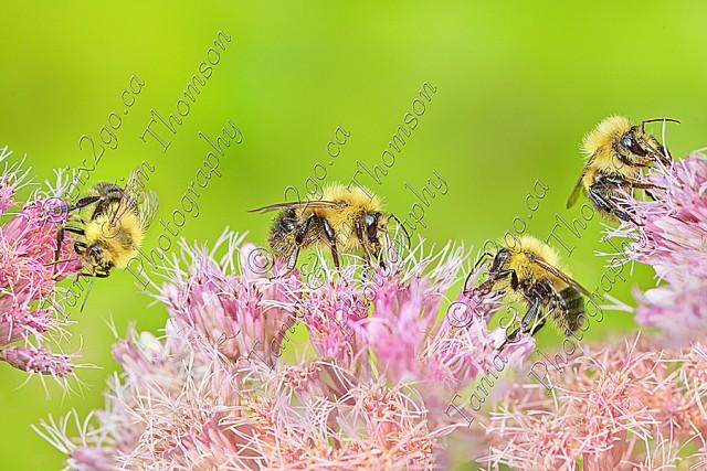 BEES ON SPOTTED JOE-WEED  bloom - Eupatorium maculatum 2011