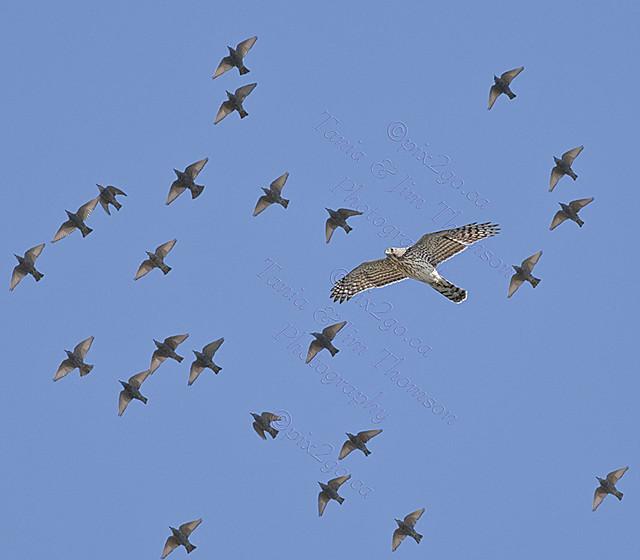 COOPER'S HAWK Accipiter cooperii Sept. 26, 2010