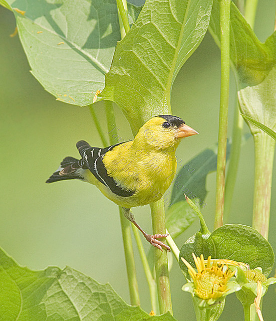 AMERICAN GOLDFINCH Carduelis tristis August 2, 2010