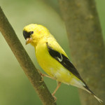 AMERICAN GOLDFINCH Carduelis tristis August 7, 2010