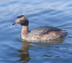 HORNED GREBE