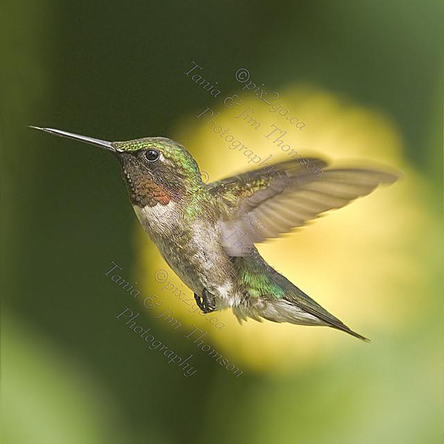 RUBY-THROATED HUMMINGBIRD Archilochus colubris July 28, 2010