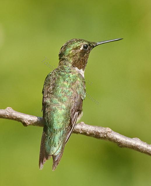 RUBY-THROATED HUMMINGBIRD Archilochus colubris August 2, 2010