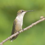 RUBY-THROATED HUMMINGBIRD Archilochus colubris August 4, 2010
