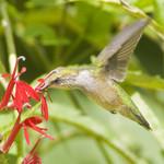 RUBY-THROATED HUMMINGBIRD Archilochus colubris August 7, 2010