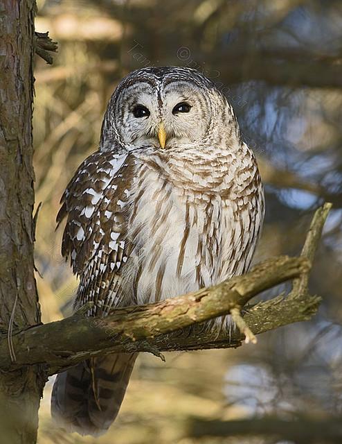BARRED OWL Strix varia Jan. 23, 2010